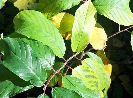 Magnesium Deficiency Plants
