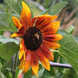 How to grow Sunflowers from seed | Nurseries Online USA