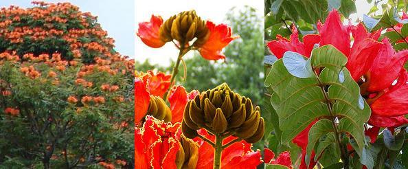 Resultado de imagen para tulipan africano flor