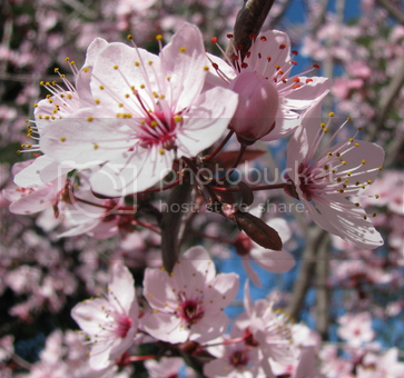 Flowering Plum Pictures, Images and Photos