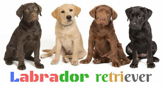 Perro Labrador retriever - YellowBlog