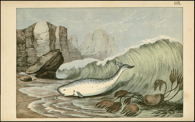 zoological chromolithograph - Le narval ou licorne de mer (narwhal)