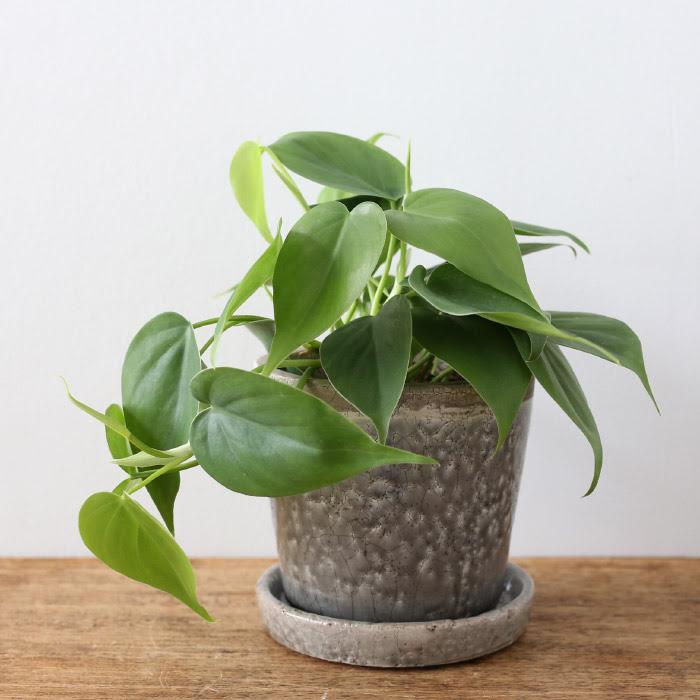 オキシカルジウム / Philodendron oxycardium