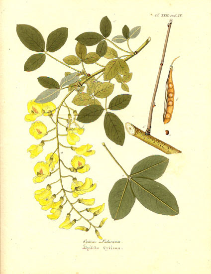 File:14065.Leguminosae - Laburnum vulgare.jpg