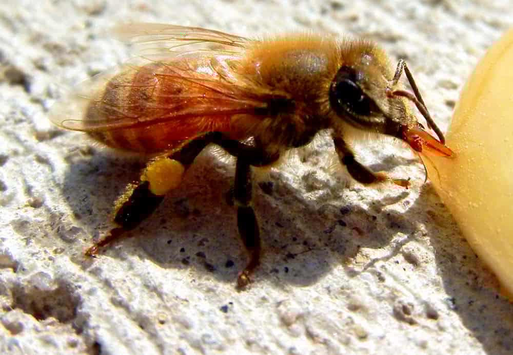 tired honeybee eating honey,