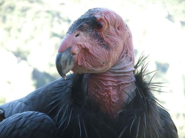 O condor-da-Califórnia, ameaçado de extinção. (Foto: Cortesia/Daniel George)