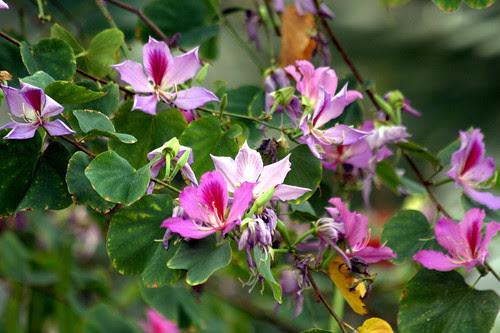 bahuinia variegata