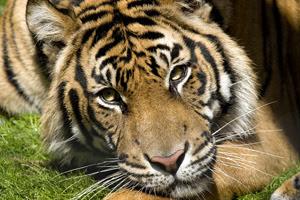 KCZoo Tiger