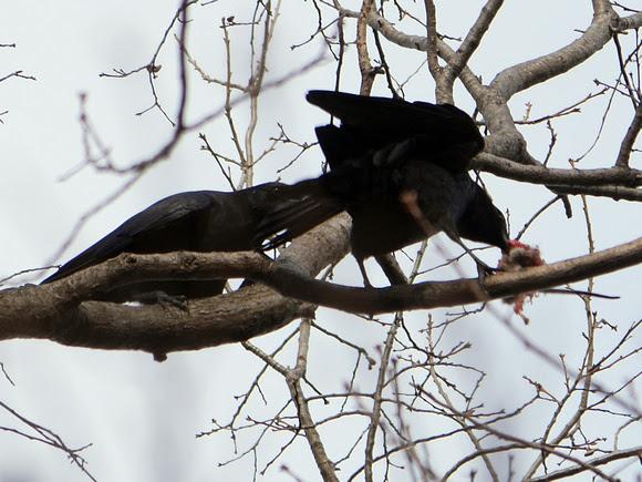 Ed Gaillard: recent &emdash; Crows squabbling over a rat, Strawberry Fields, Central Park