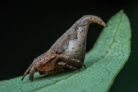 Newly discovered spider resembling Sorting Hat gets Harry Potter-inspired name