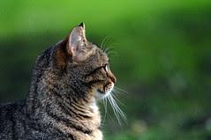 Profile feline ...