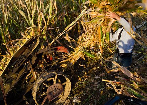 Picking Corn Stalks