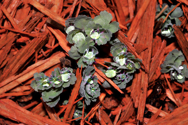 enhanced blue columbine sprouts, because this is the way they appeared to my eyes