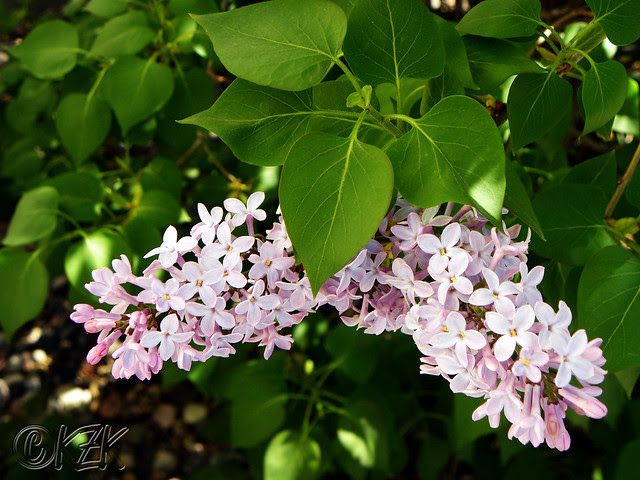 DSCN0995 Skidmore Lilacs