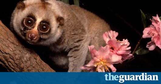 Party animal: slow loris study reveals preference for highly alcoholic drinks | Science | The Guardian
