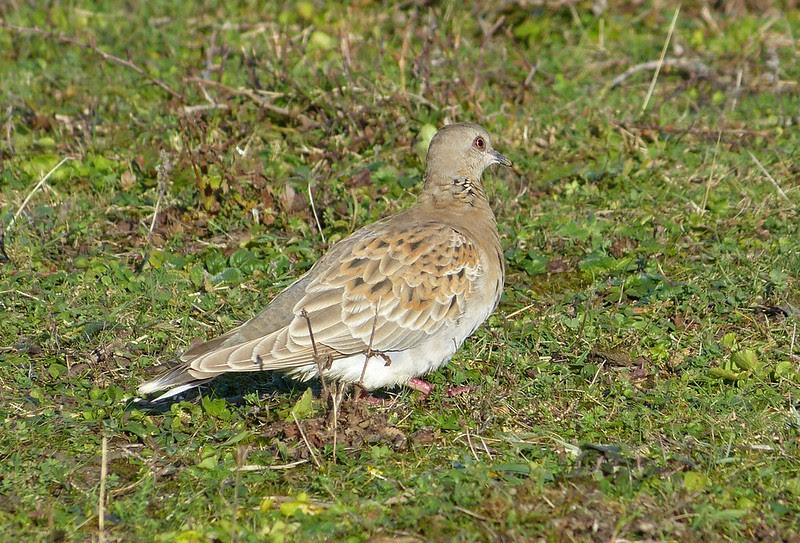 P1060245 - Turtle Dove, Cosmeston