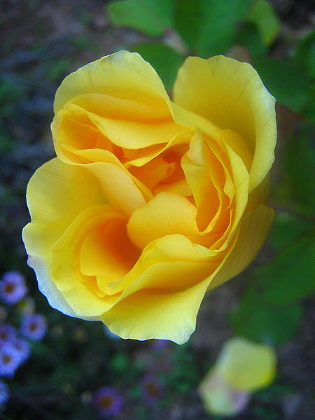 Ficheiro:Blooms of a yellow rose.jpg