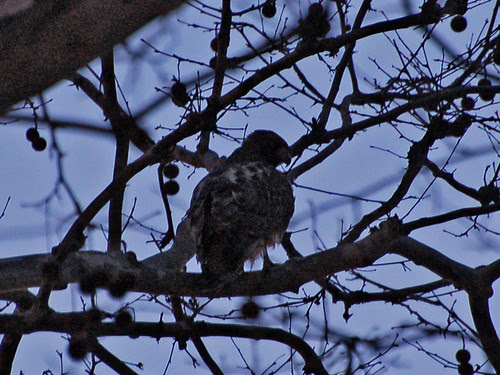 Roosting Red-Tail