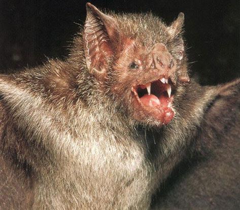http://ladyfi.files.wordpress.com/2008/10/vampire-bat-1.jpg