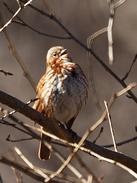 Ed Gaillard: recent &emdash; Fox Sparrow singing, Central Park