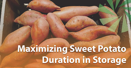 Maximizing Sweet Potato Duration in Storage | IVI Blog