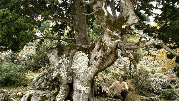 Ciprés monumental en el Bosque de Tavri, Montañas Blancas, Creta, Grecia.