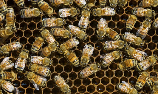 The secret to staying young: How thinking like a bee can reverse brain aging