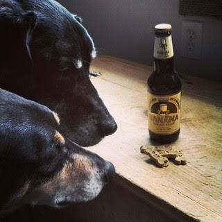 Lola & Tut wondering which to pick... #BananaBread #beer or @caseyjonesbones #peanutbutterbanana #treats Happy St Pattys! #dogstagram #ilovemydogs #dobermanmix #coonhoundmix