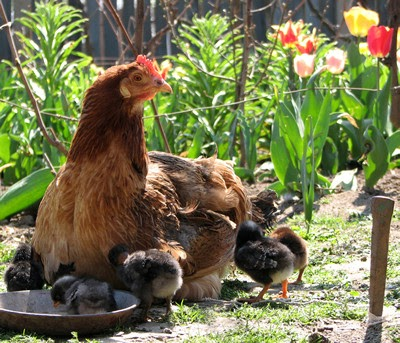 Raising Chickens : Keeping Chickens in your Backyard ...