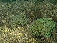 dues anemones de mar comunes