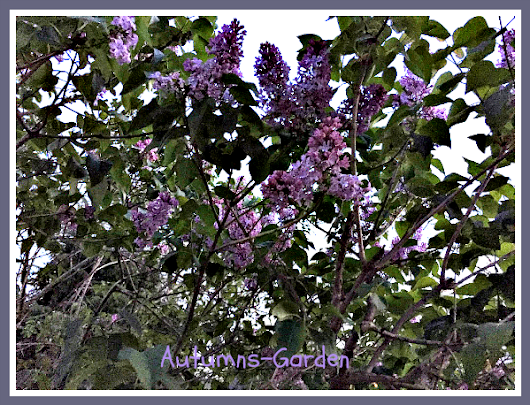 The Unexpected Renewal in a Whiff of Lilac - Autumn's Garden