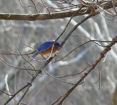 Male bluebird stretching