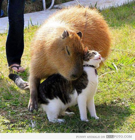 Big capybara cuddling with a cat    ANIMALS   Pinterest