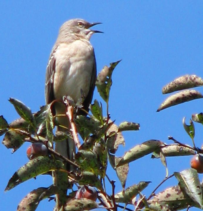 mockingbird in persimmon tree