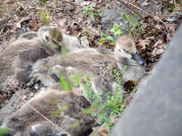 Ed Gaillard: birds &emdash; Goslings, Central Park Reservoir