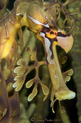 Phycodurus eques