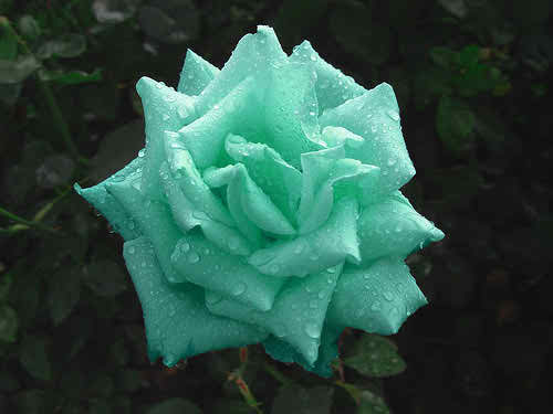 Green Rose Pictures High Resolution Green Rose Pictures 19022