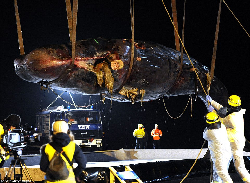 They are believed to be part od a larger pod, after twelve more were found dead around Germany and Holland. One of two sperm whales that stranded at the island Wangerooge is lifted with a crane in Wilhelmshaven, northern Germany