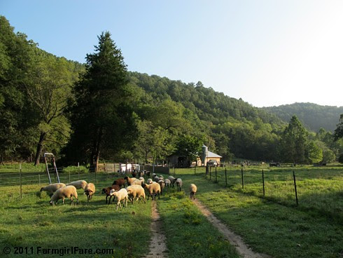 Lambs going out for breakfast - FarmgirlFare.com