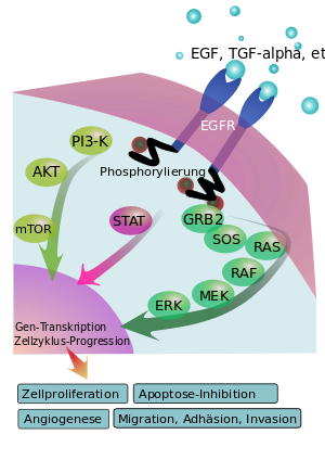 Epidermal growth factor receptor (EGFR) signal...