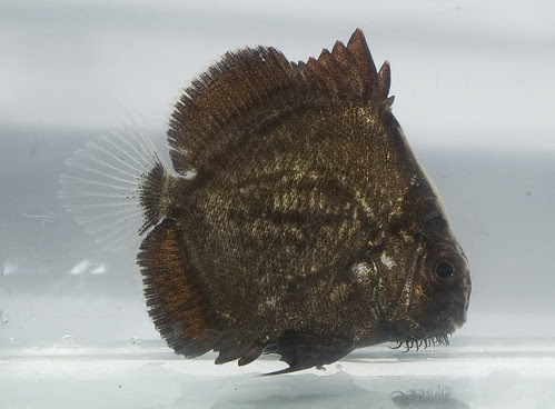 Sicklefish (Drepane sp.)
