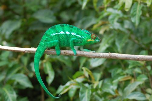 Madagascar chameleon Dec 07 No 1