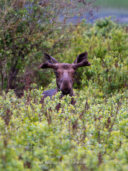 Moose in Hiding