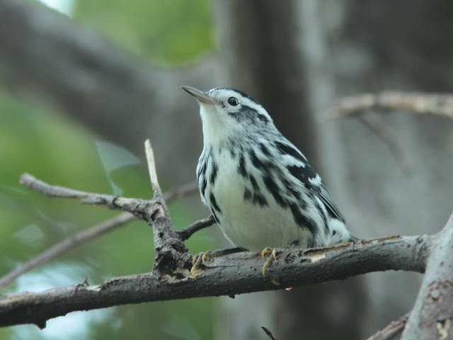 Black-and-White Warbler 5-20110914