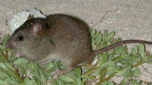 The Bramble Cay melomys is climate change's first mammal extinction victim