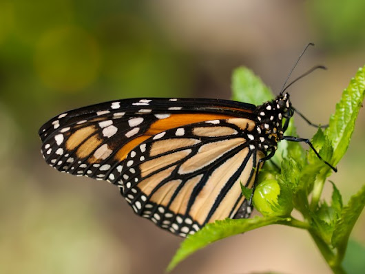 Decline of monarch butterflies linked to modern agriculture