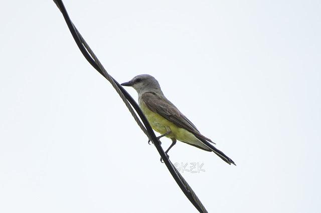 IMG_5722WesternKingbird