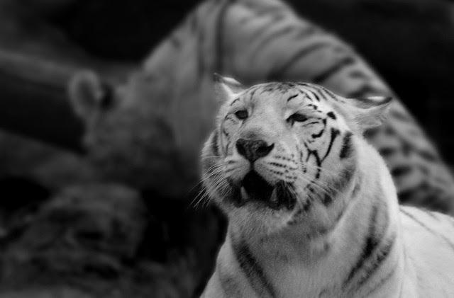 Tigre blanco byn
