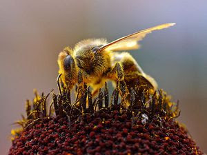 800px-Bees_Collecting_Pollen_2004-08-14.jpg
