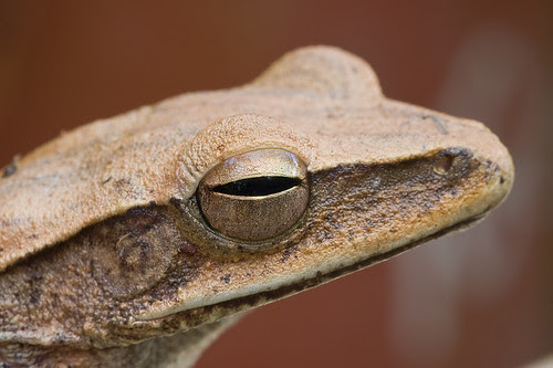 <i>Polypedates leucomystax</i>, four lined/common tree frog IMG_8619 copy